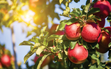 Apple Orchard Close Up
